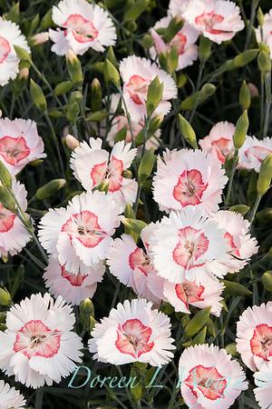 Dianthus x Georgia Peach_2769.jpg