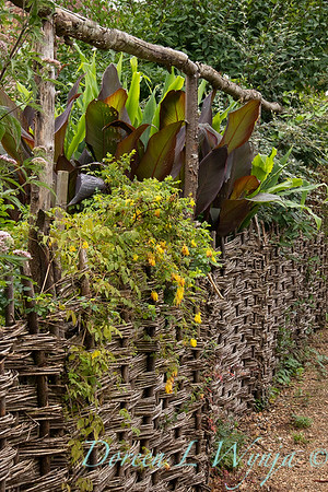 Dicentra scandens trailing a woven fence_9576