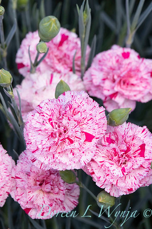42066 Dianthus x 'Wp15 Mow08' Devon Cottage Pinball Wizard_6971