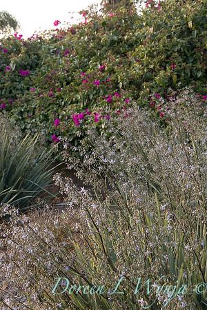 Dianella caerulea 'DBB03' Cassa Blue flowering_2791