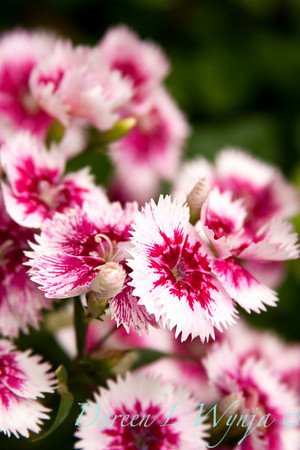 Dianthus Sweet William_003