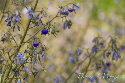 Dianella caerulea 'DBB03' Cassa Blue_1405