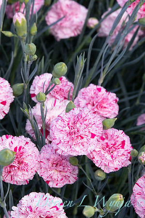42066 Dianthus x 'Wp15 Mow08' Devon Cottage Pinball Wizard_6972