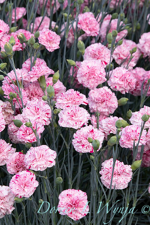 42066 Dianthus x 'Wp15 Mow08' Devon Cottage Pinball Wizard_6963