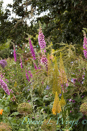 Digitalis purpurea_031