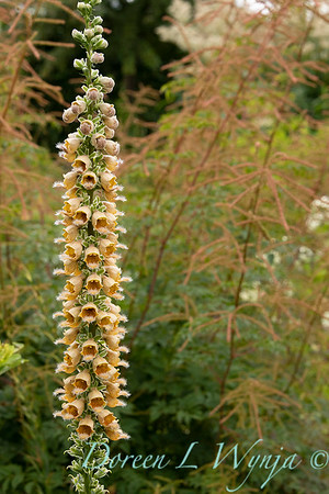 Digitalis ferruginea_9562