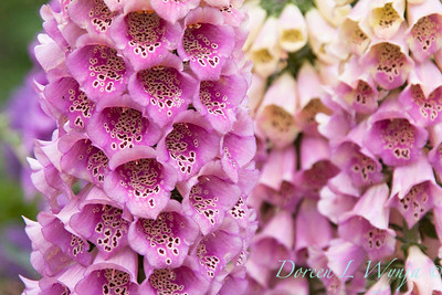 Digitalis purpurea_Doreen Wynja_018