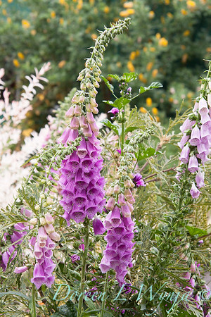 Digitalis purpurea_033