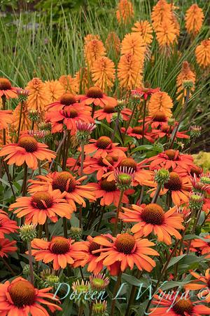 Echinacea 'TNECHKIO' Kismet Intense Orange_1953