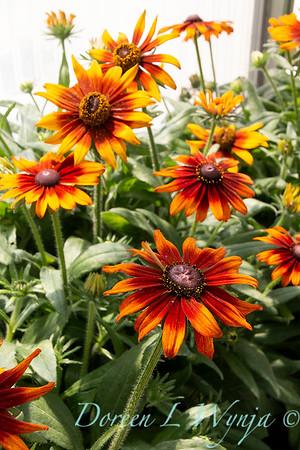 Echibeckia Summerina 'Orange'_2278
