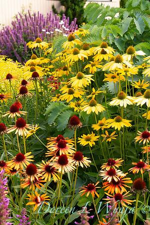 Echinacea 'Flame Thrower' - 'Now Cheesier' - Cottage Garden_2058