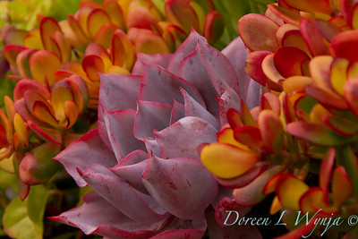 Echeveria 'Afterglow' - Crassula ovata 'Hummel's Sunset'_5232