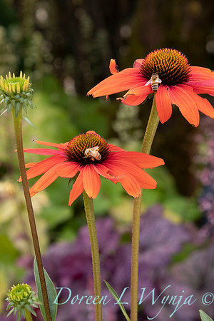 Echinacea 'TNECHKIO' Kismet Intense Orange with honey bee_2917