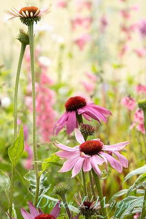 Echinacea purpurea 'Prairie Splendor'_9938GAP