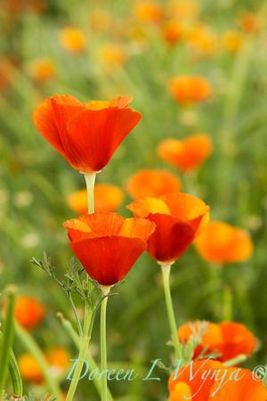 Eschscholzia californica_019