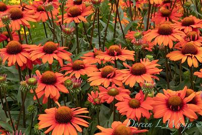 Echinacea 'TNECHKIO' Kismet Intense Orange_1950