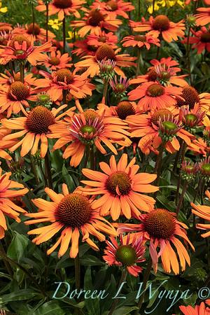 Echinacea 'TNECHKIO' Kismet Intense Orange_2915