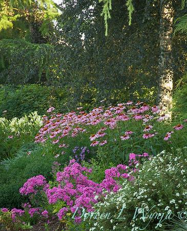 3177 Echinacea purpurea Magnus_001
