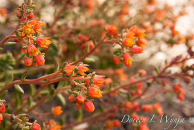 Echeveria Fleur de Or_006