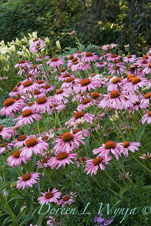 3177 Echinacea purpurea Magnus_002