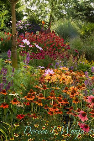 Echinacea 'Dixie Blaze' - Agastache 'Blue Boa' - Cottage Garden_2053