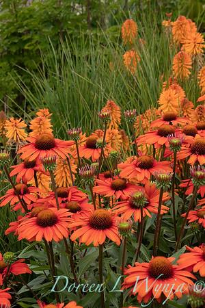 Echinacea 'TNECHKIO' Kismet Intense Orange_1956