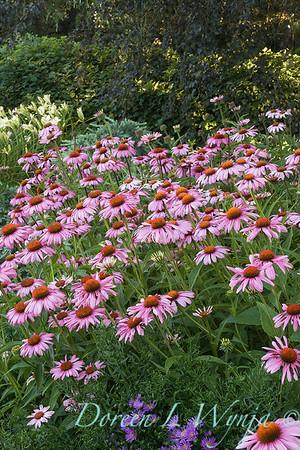 3177 Echinacea purpurea Magnus_003