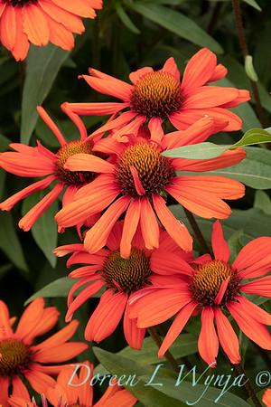 Echinacea 'TNECHKIO' Kismet Intense Orange_1943