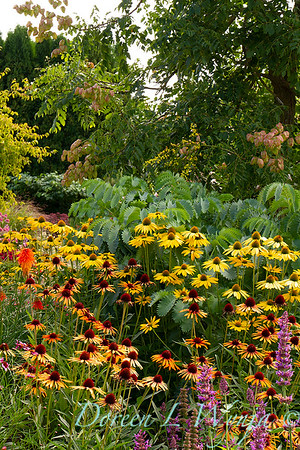 Echinacea 'Flame Thrower' - 'Now Cheesier' - Cottage Garden_2055