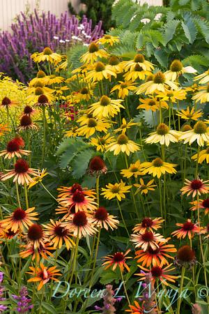 Echinacea 'Flame Thrower' - 'Now Cheesier' - Cottage Garden_2059