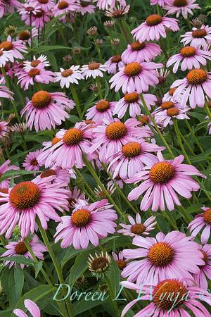 3177 Echinacea purpurea Magnus_004