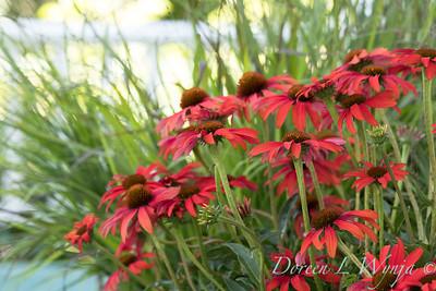 Echinacea 'Tomato Soup' - 6388 Panicum virgatum 'Shenandoah'_7018