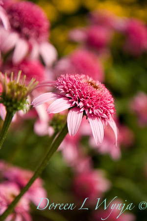 Echinacea purpurea Pink Double Delight_005
