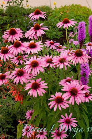 Echinacea purpurea Magnus_030