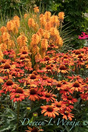 Echinacea 'TNECHKIO' Kismet Intense Orange with Kniphofia 'Pcoc Orange'_2908