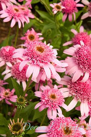 Echinacea purpurea Pink Double Delight_003, Echinacea purpurea Pink Double Delight