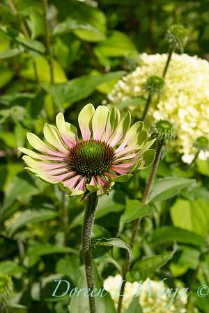 Echinacea purpurea Green Envy_010