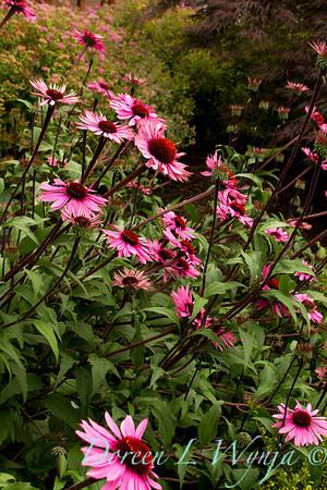 3958 Echinacea purpurea Merlot_002