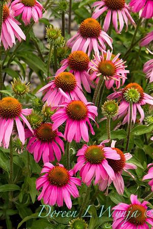 489 Echinacea purpurea Kim's Knee High_001