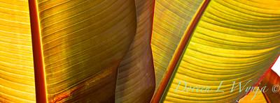 'Maurelii'; 6200; Abyssinian; Banana; banana leaf; Banano ensete marelii; Ensete; Ensete ventricosum; False Banana; maurelii; Red Abyssinian Banana; ventricosum; Wild Banana