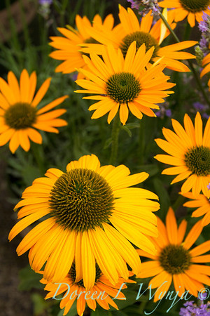 7712 Echinacea Now Cheesier_002