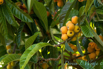 Eriobotrya japonica_001