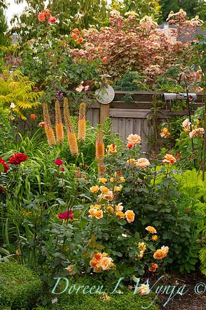 Eremurus isabellinus 'Cleopatra' - rose garden_8407
