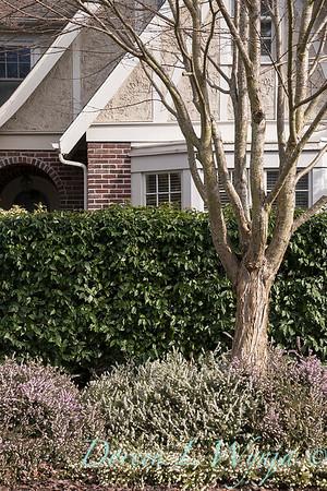 Erica x darleyensis 'Silberschmelze' - E  x darleyensis 'Mediterranean Pink' - Prunus lusitanica hedge_1277