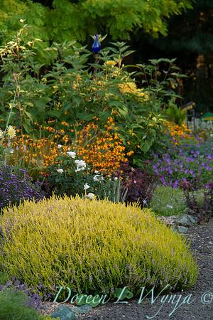 Erica x griffithsii 'Valerie Griffiths' cottage garden_0310
