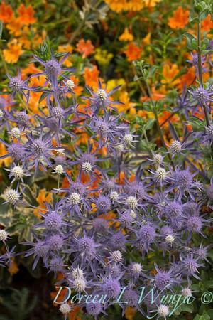 Eryngium planum Jade Frost Mimulus aurantiacus_0175