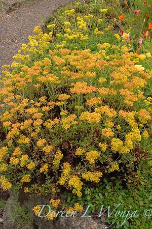 Eriogonum umbellatum var  aureum 'Psdowns' Kannah Creek_6888