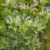 Eryngium giganteum Miss Willmott's Ghost_Doreen Wynja_003
