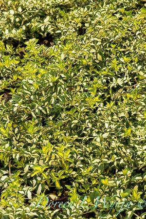 Eunymus fortunei Moonshadow_025_Doreen Wynja