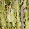 Euphorbia ammak variegata_6482